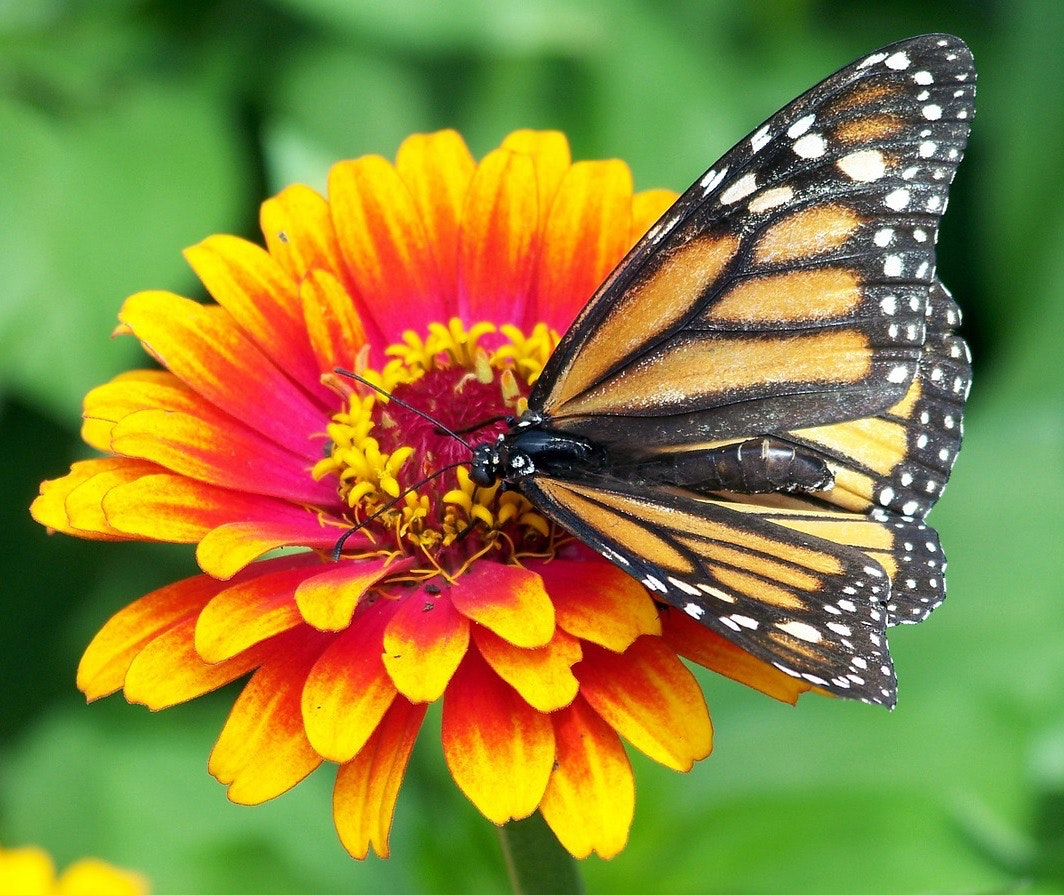 Monarch butterflies are declining in the USA and Mexico, probably from habitat disruption. Photo credit: Pixabay