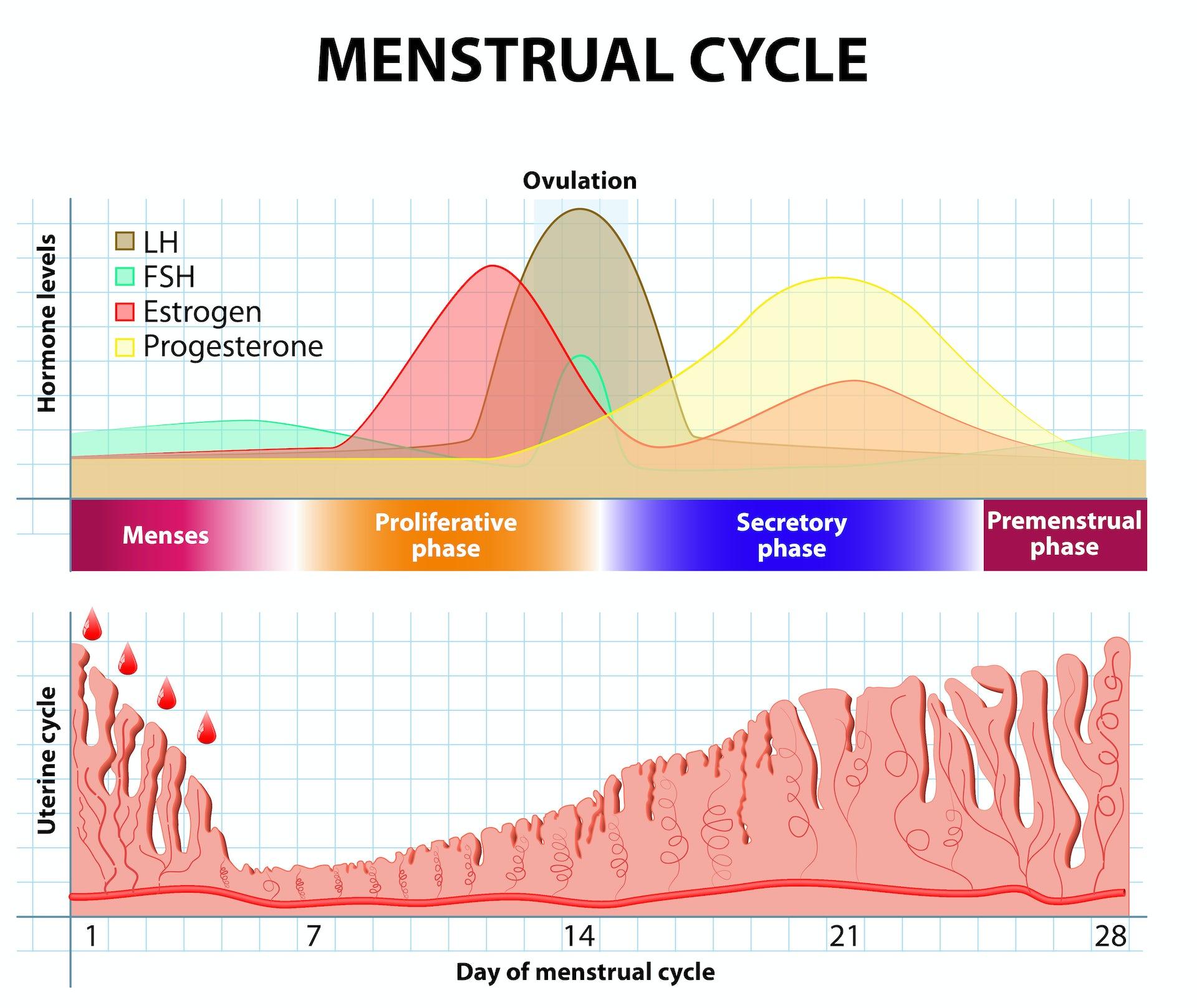 menstrual-cycle