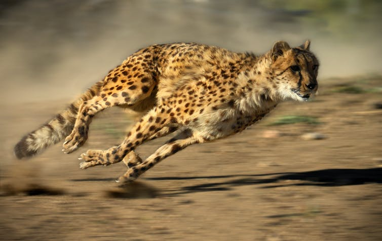 To kill, cheetahs use agility and acceleration not top speed