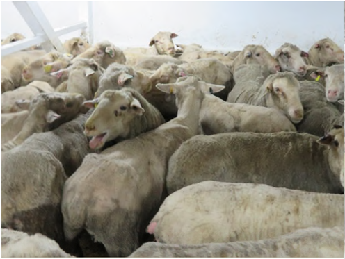 Agriculture Department refuses release of live sheep video as FOI shows heat stress suffering