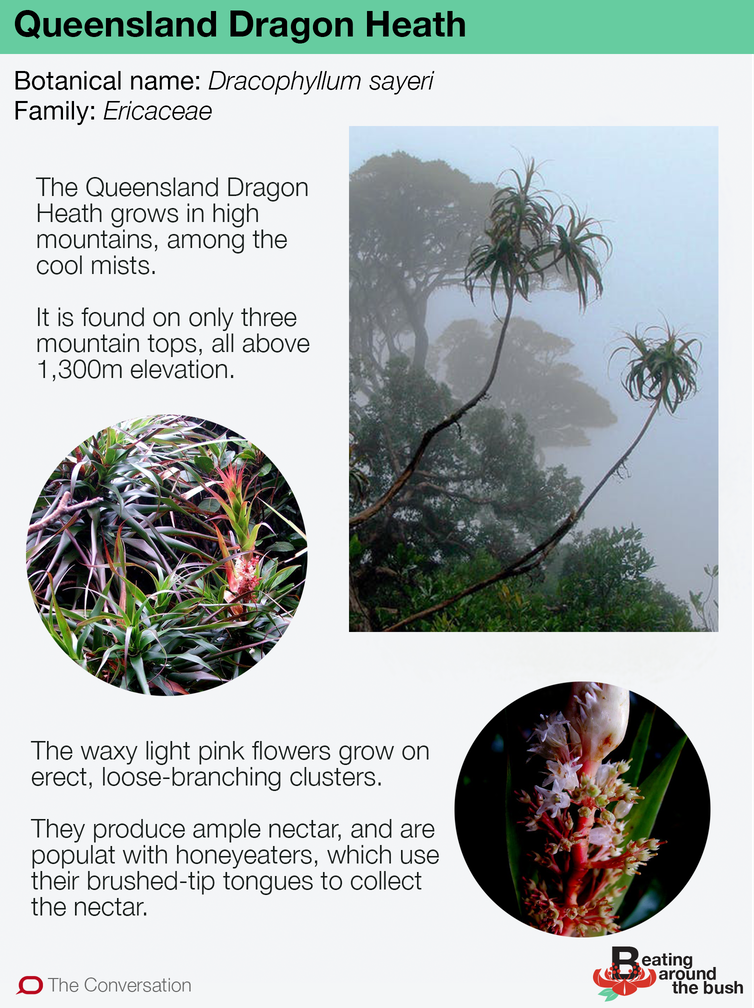 The Queensland Dragon Heath is like a creature in the mist