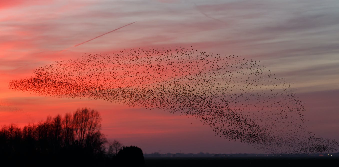 fd1aa98f4a681 Starling murmurations  the science behind one of nature s greatest displays