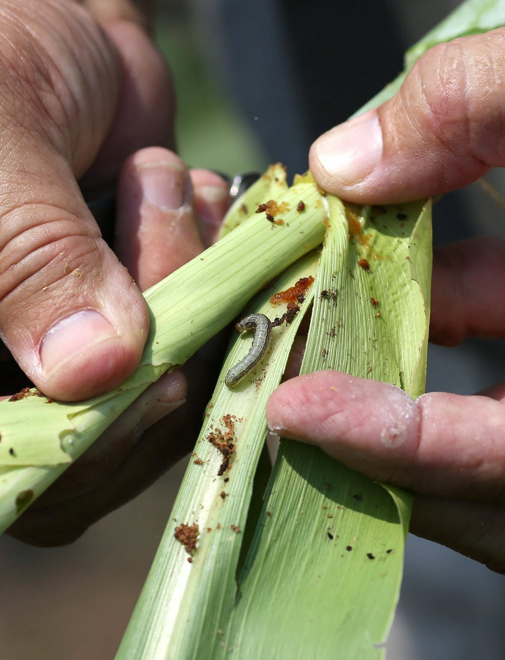 An armyworm is seen on a sorghum plant in South Africa. Photo credit: Reuters