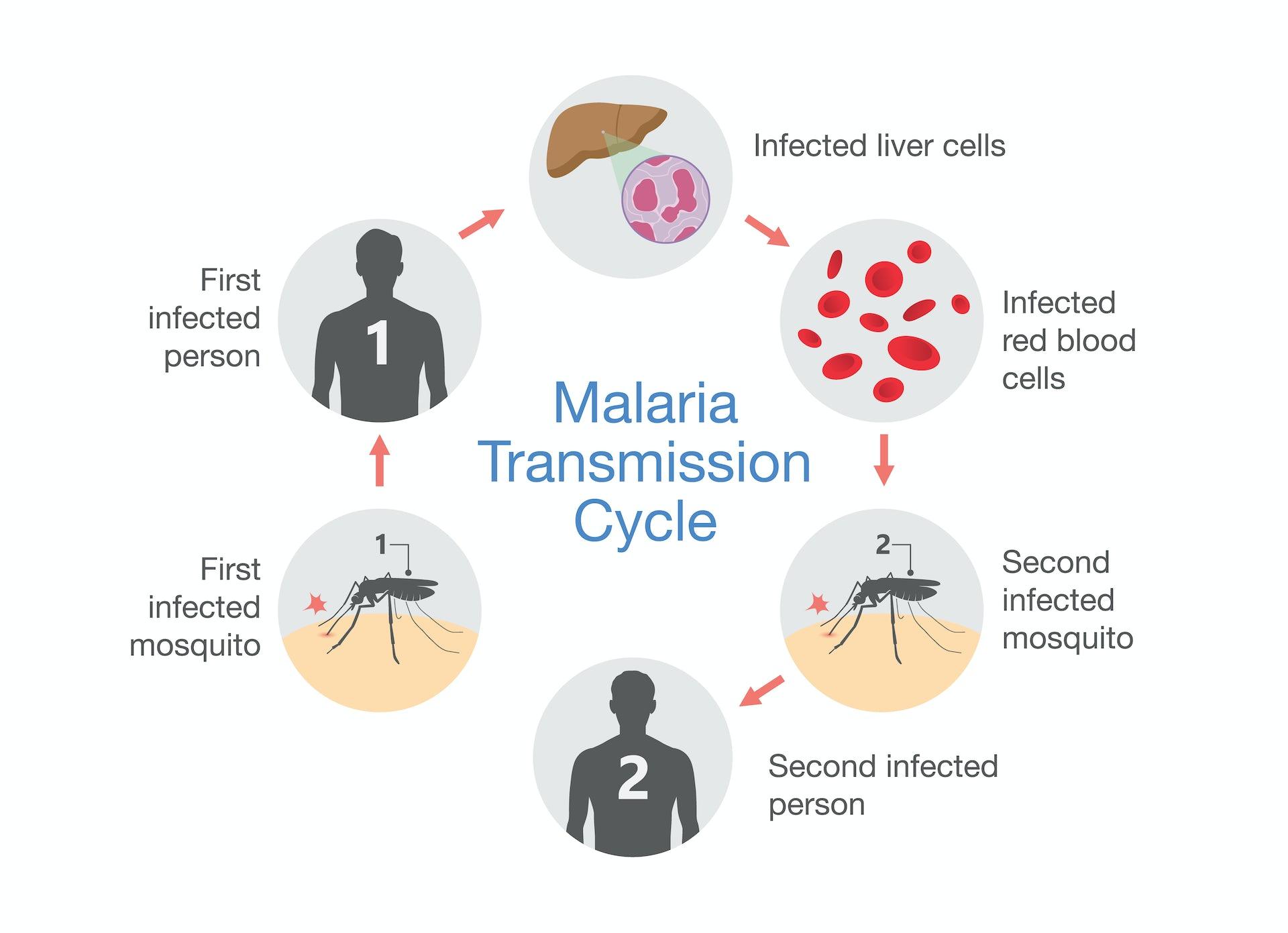 new diagnostic test for malaria uses spit, not blood dengue vs malaria malaria symptom diagram #14