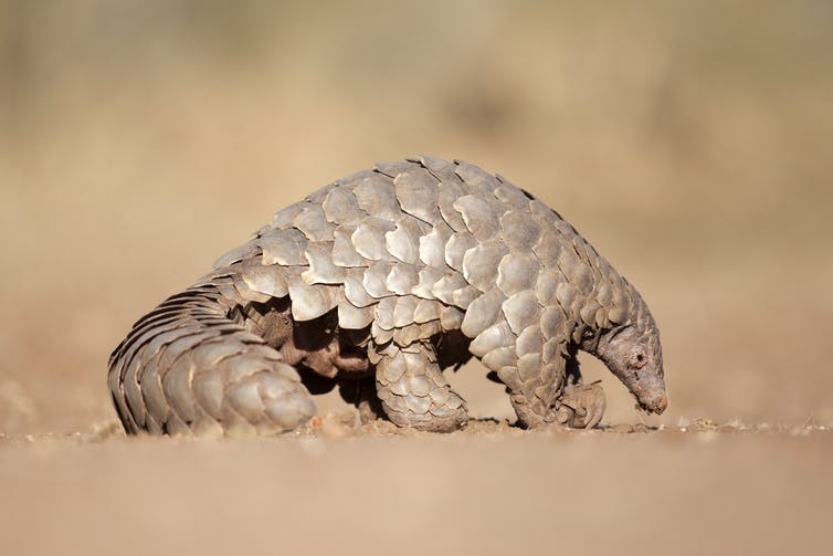 Seizures of pangolins and their scales and skins from Africa, destined for Asia, are increasing.