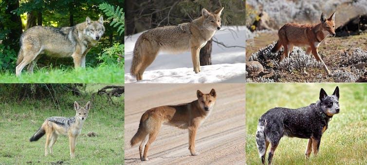 The dingo is a true-blue, native Australian species