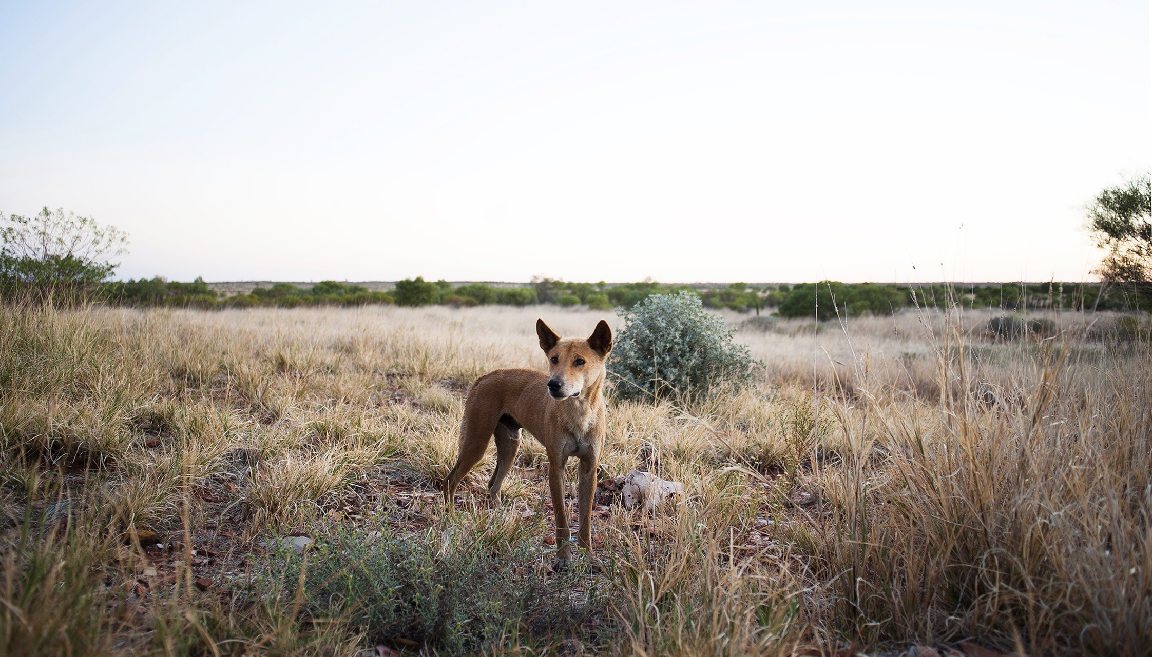 How Australia made poisoning animals normal
