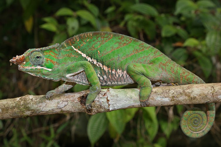 insects stalked by a chameleon