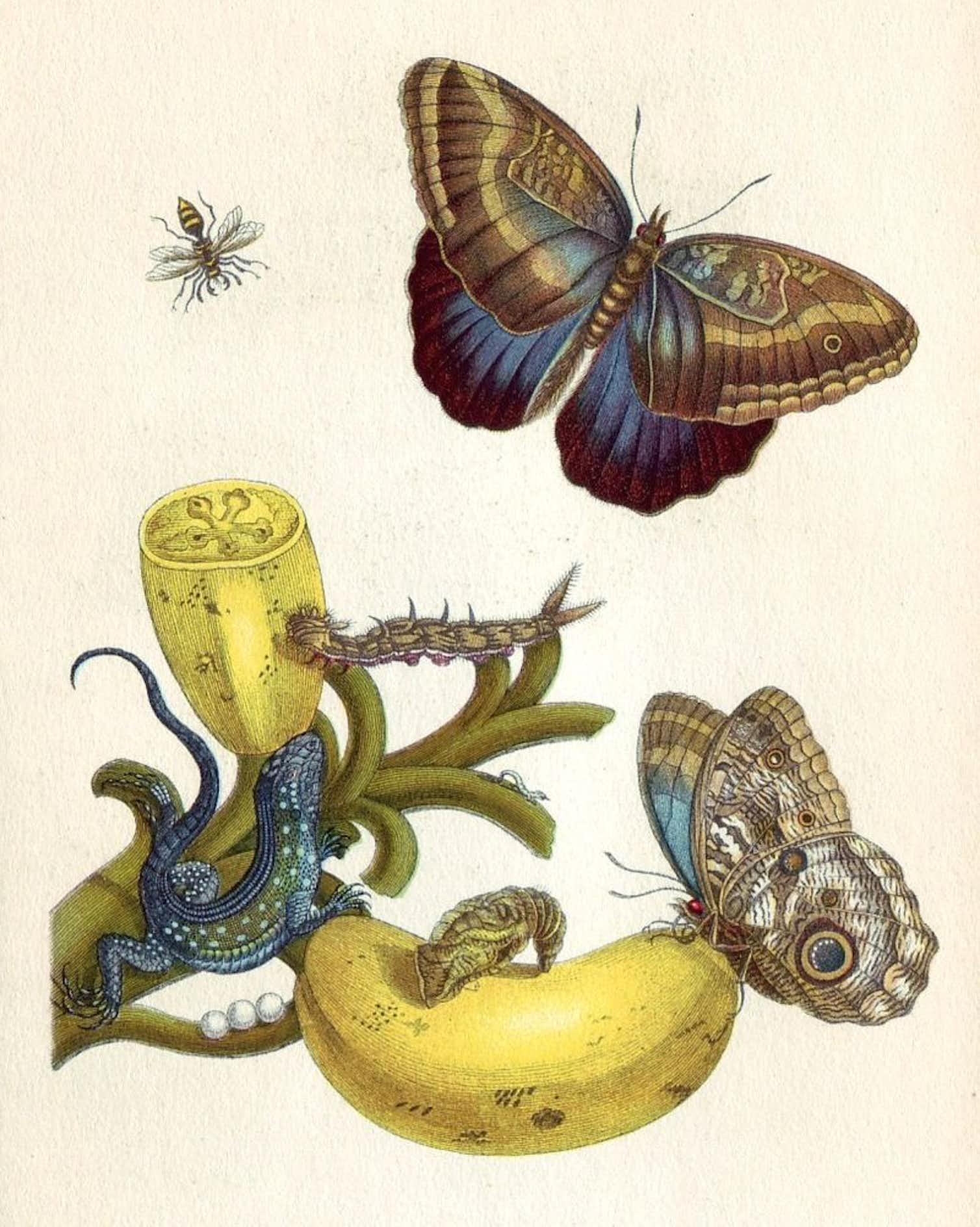Maria Sibylla Merian, illuminated copper-engraving from Metamorphosis insectorum Surinamensium, Plate XXIII. Solanum mammosum 1705. Credit: Wikimedia Commons