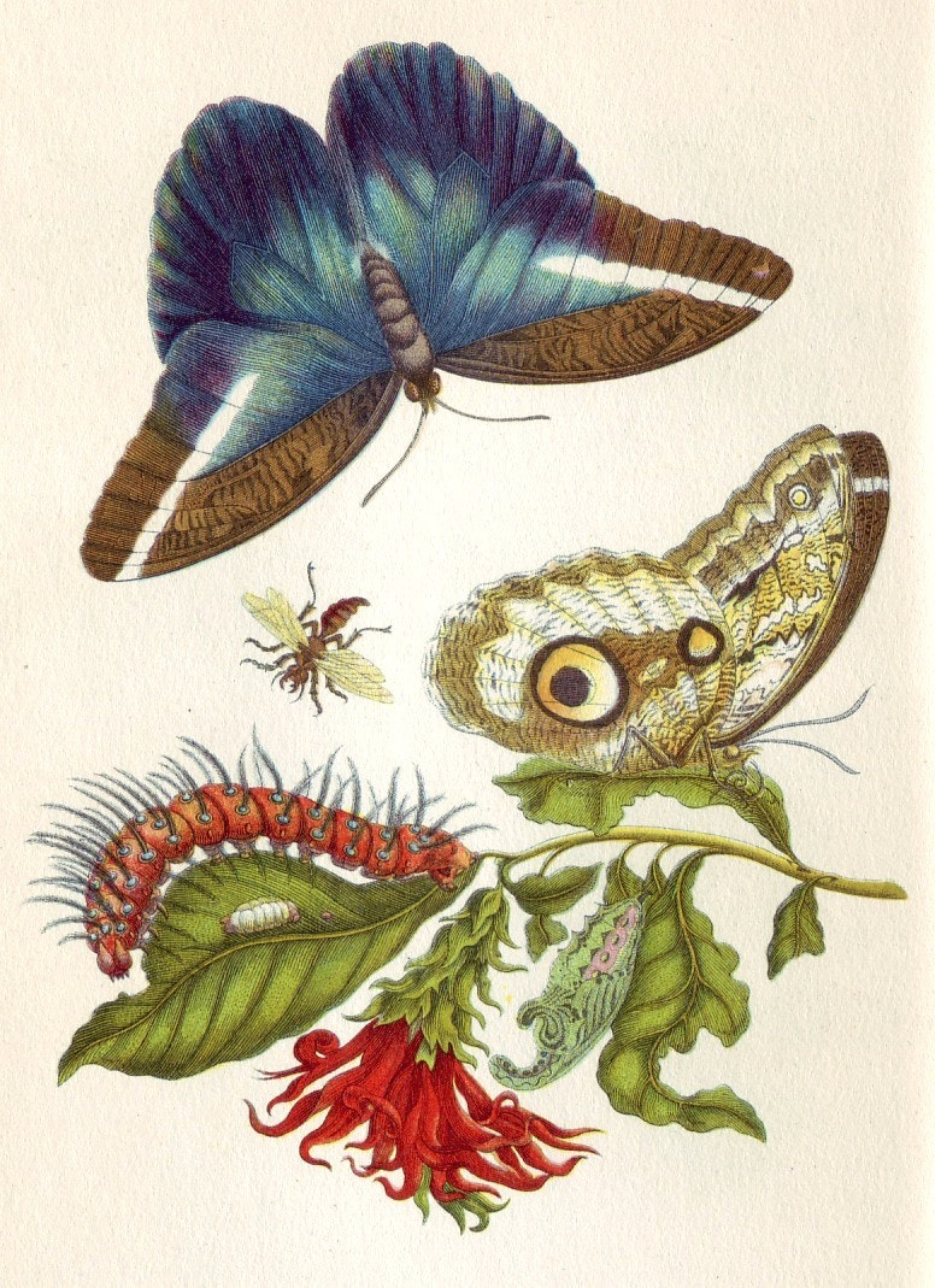 An image from Merian's book Metamorphosis insectorum Surinamensium. Credit: Wikimedia Commons