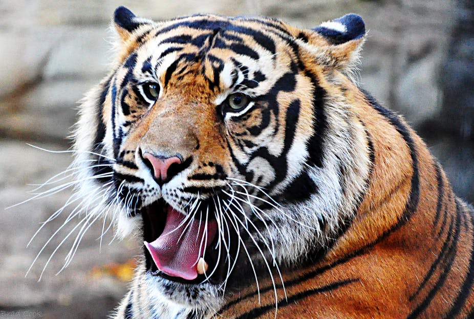 Curious Kids: why do tigers have whiskers?