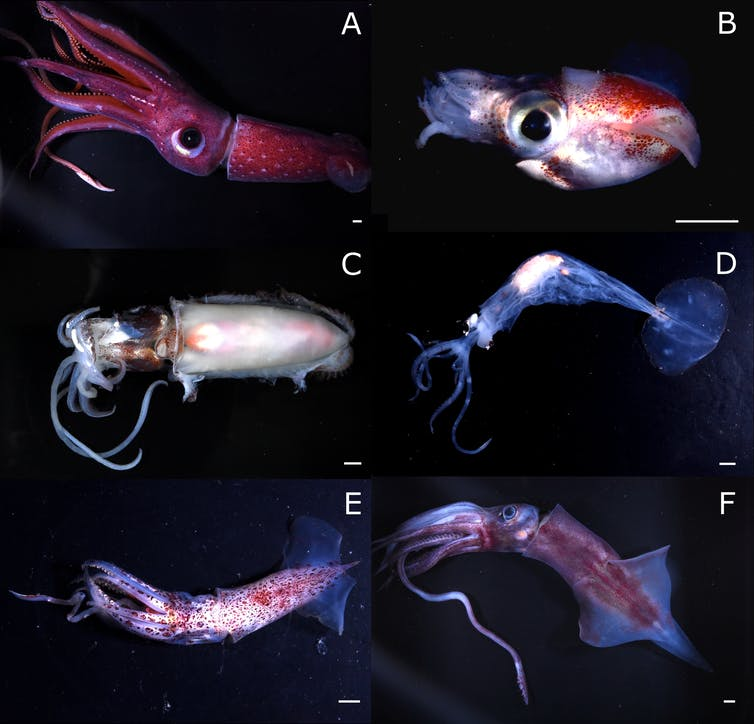 Squid team finds high species diversity off Kermadec Islands, part of stalled marine reserve proposal