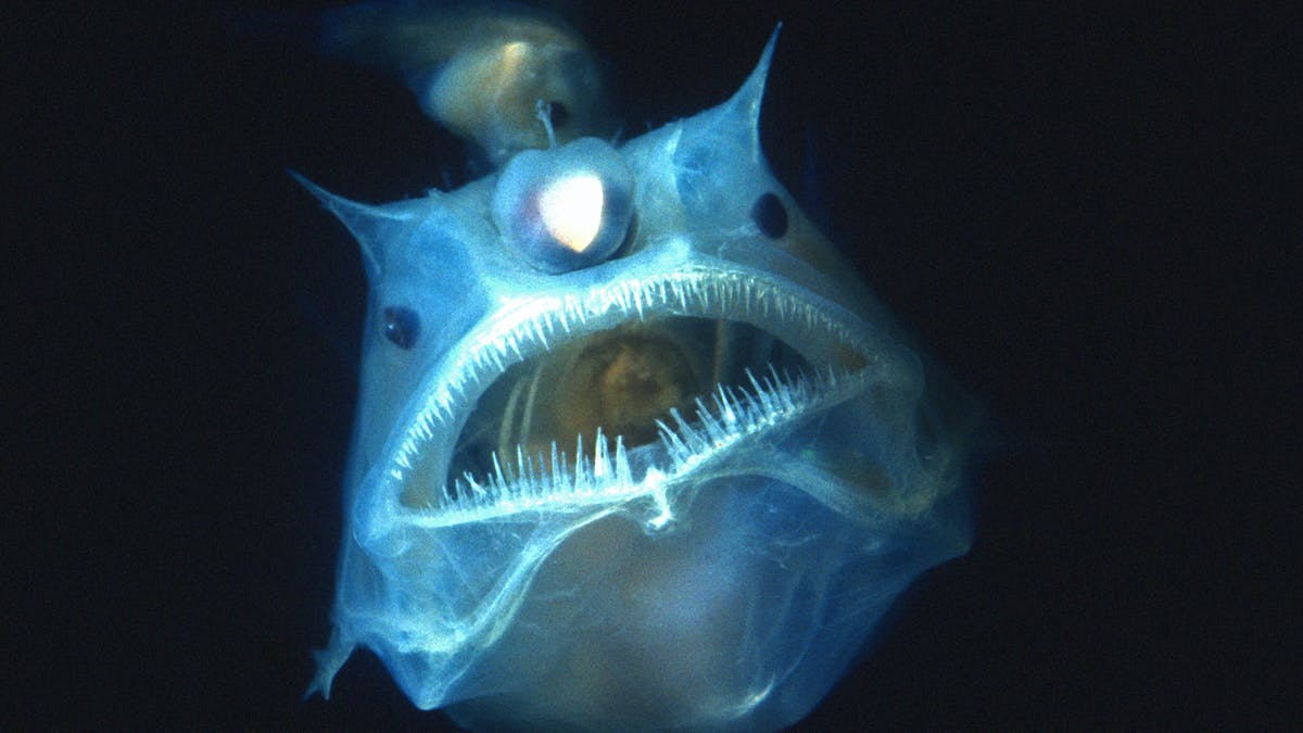 Curious Kids How Do Creatures Living In The Deep Sea Stay Alive Given The Pressure