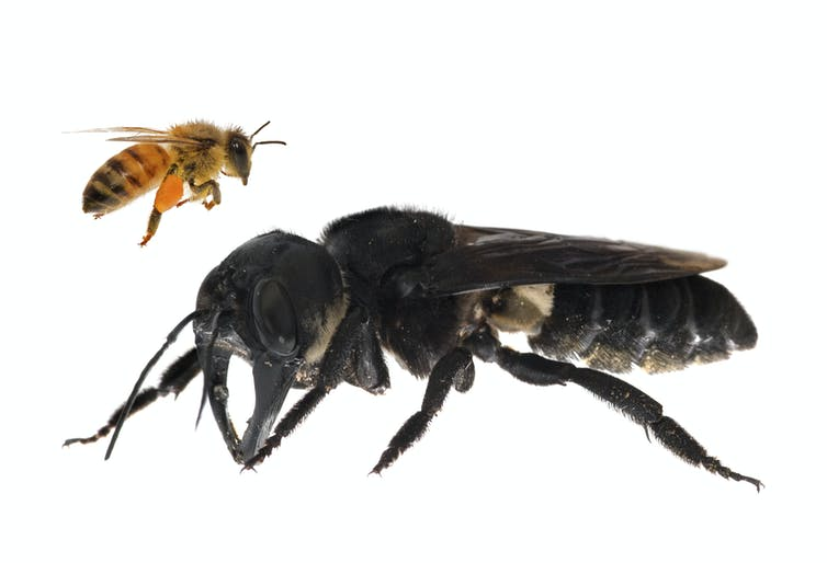 how a tropical holiday led us to find the world's biggest bee