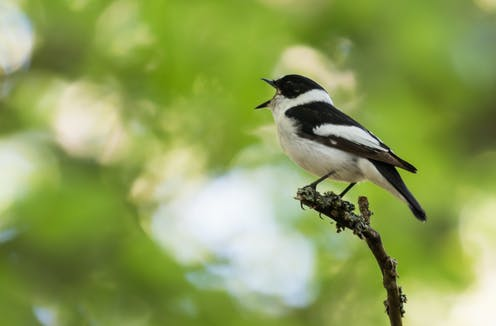 Sexual selection in action: Birds that attract multiple