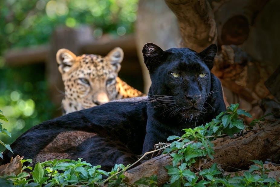 Bilder von schwarzen Leoparden, Aktfotos älterer schwarzer Männer