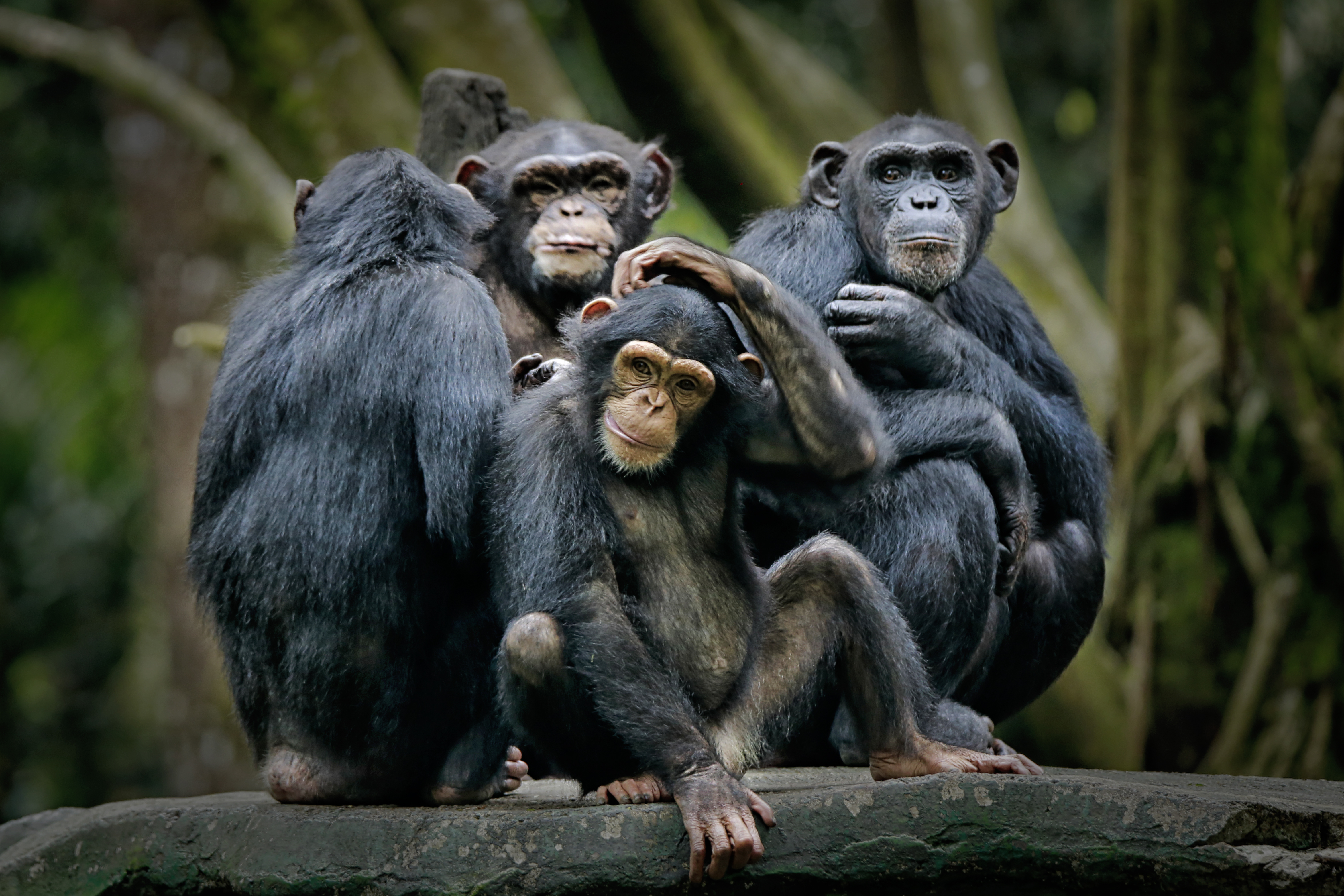 a chimpanzee cultural collapse is underway  and it u0026 39 s