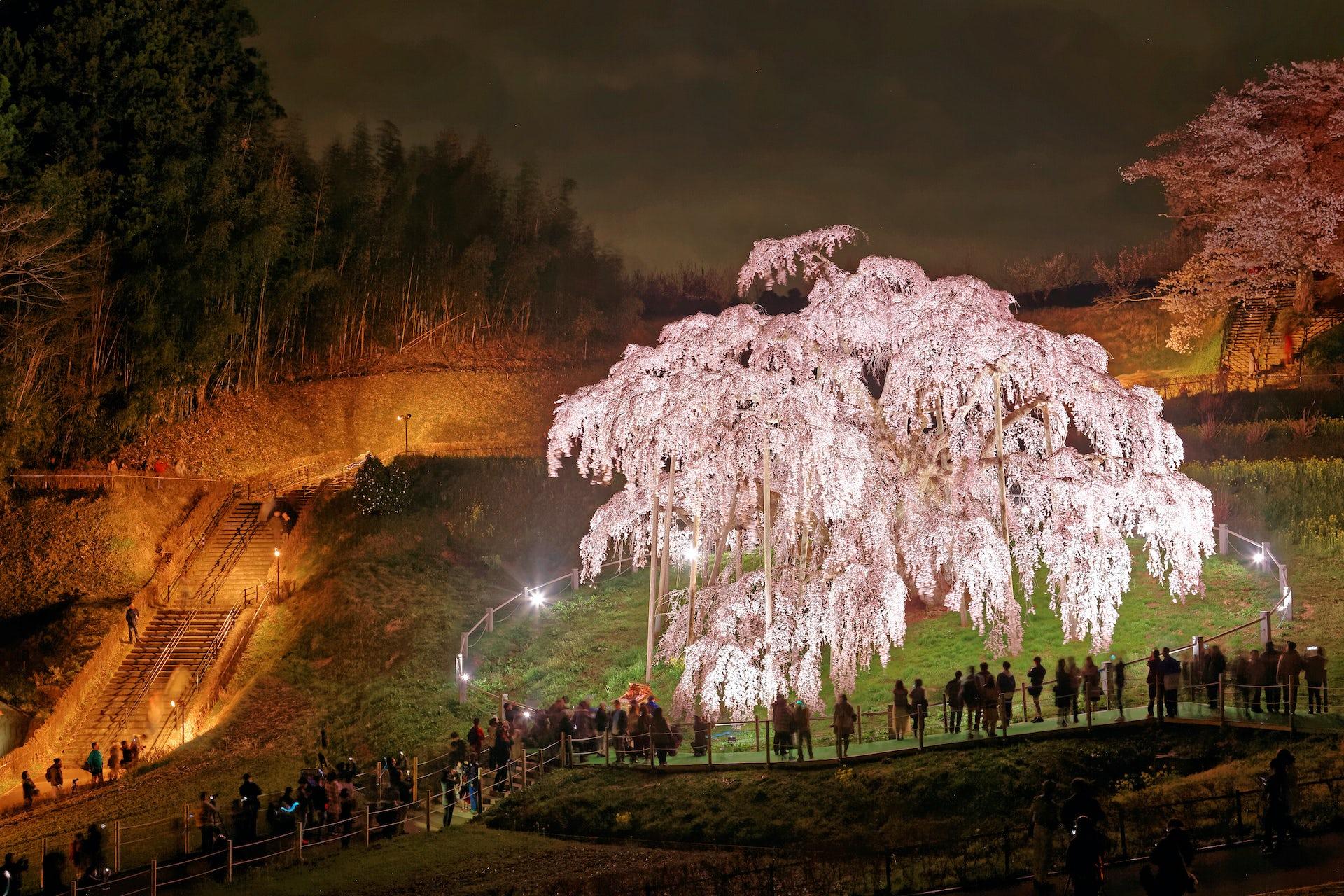 Les cerisiers de Fukushima