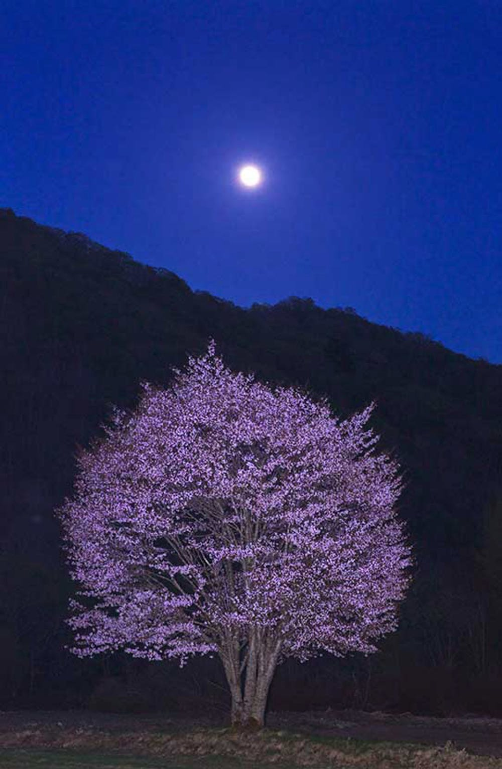 A photo selected for the NHK Fukushima cherry-tree competition. Photo credit: NHK/MCJP