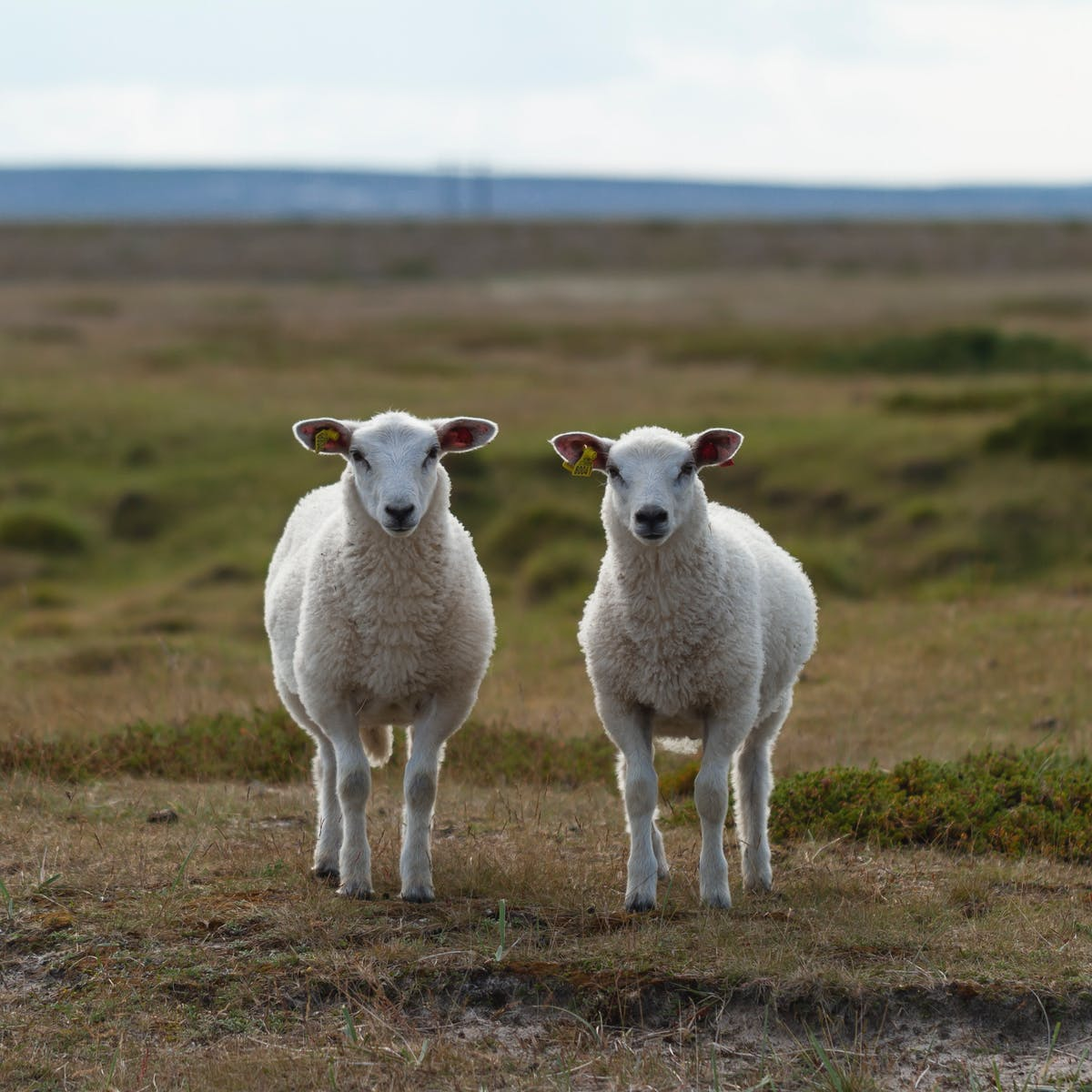 Australia's drought could be increasing Q fever risk, but