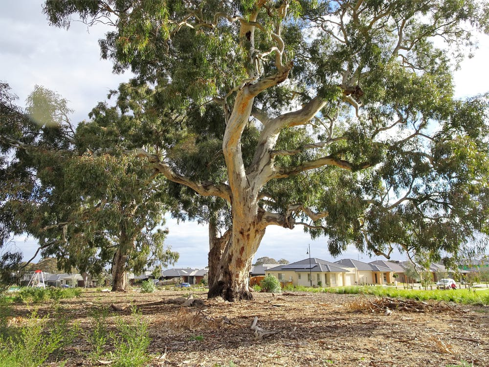 A Detailed Eucalypt Family Tree Helps Us See How They Came To