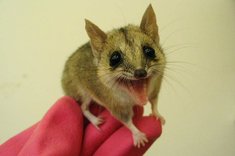 'Give us a sniff, love': giving marsupials scents from suitors helps breeding programs
