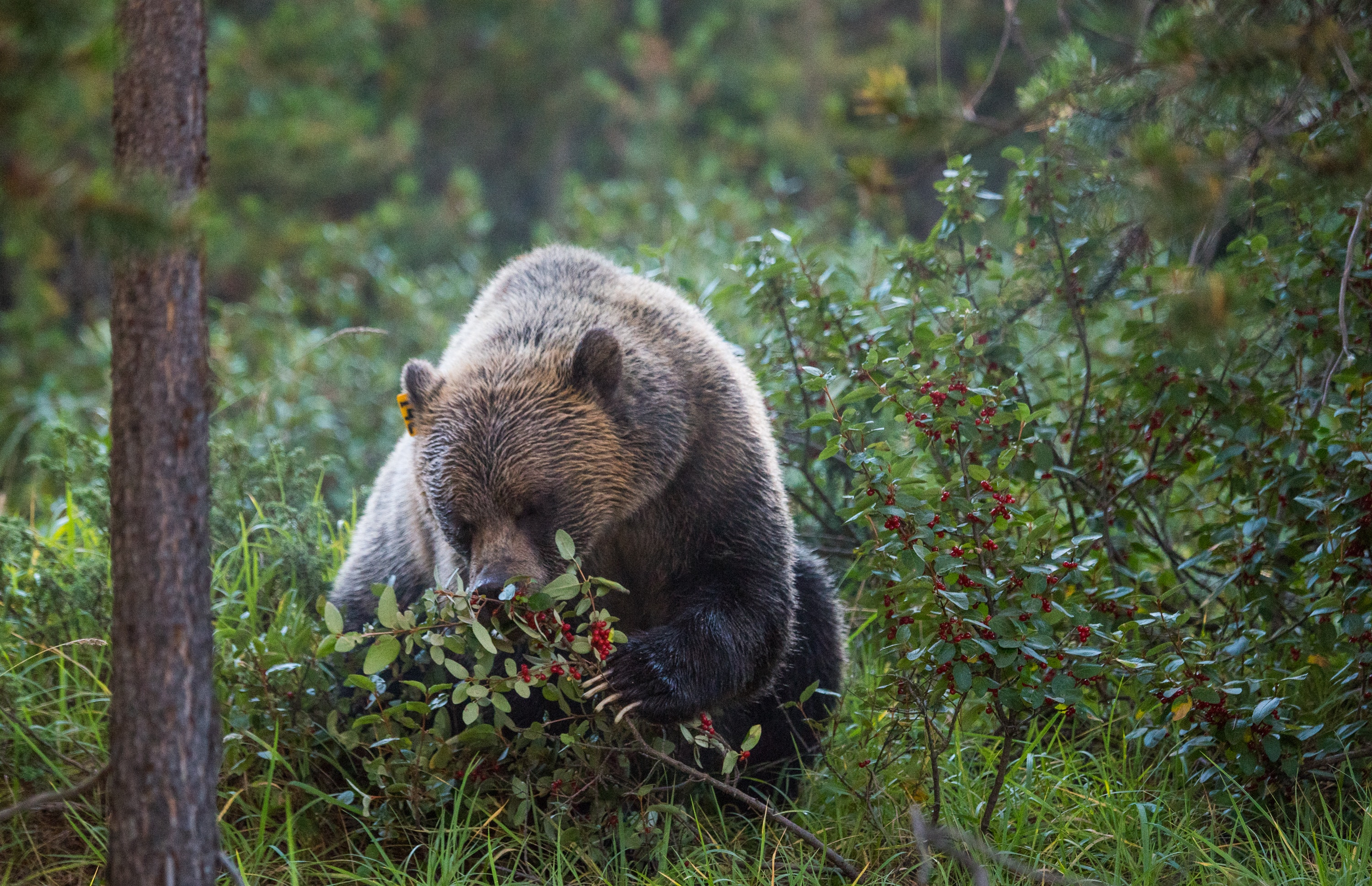 Alberta grizzly bears will feel the effects of climate change