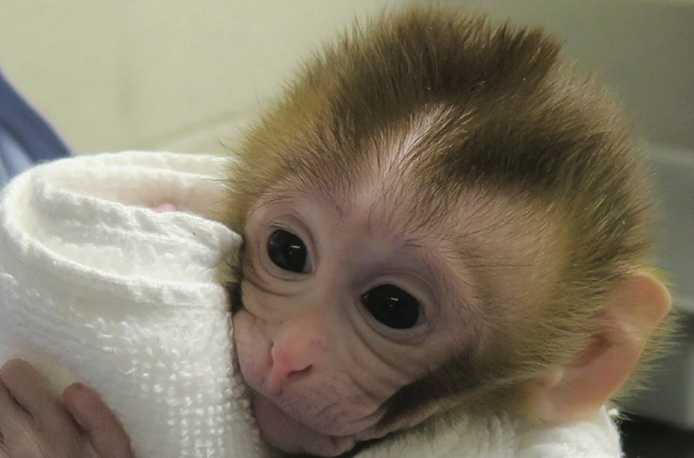 A 12-week-old baby female macaque, named Grady, was born from frozen testicular tissue. Oregon Health and Science University