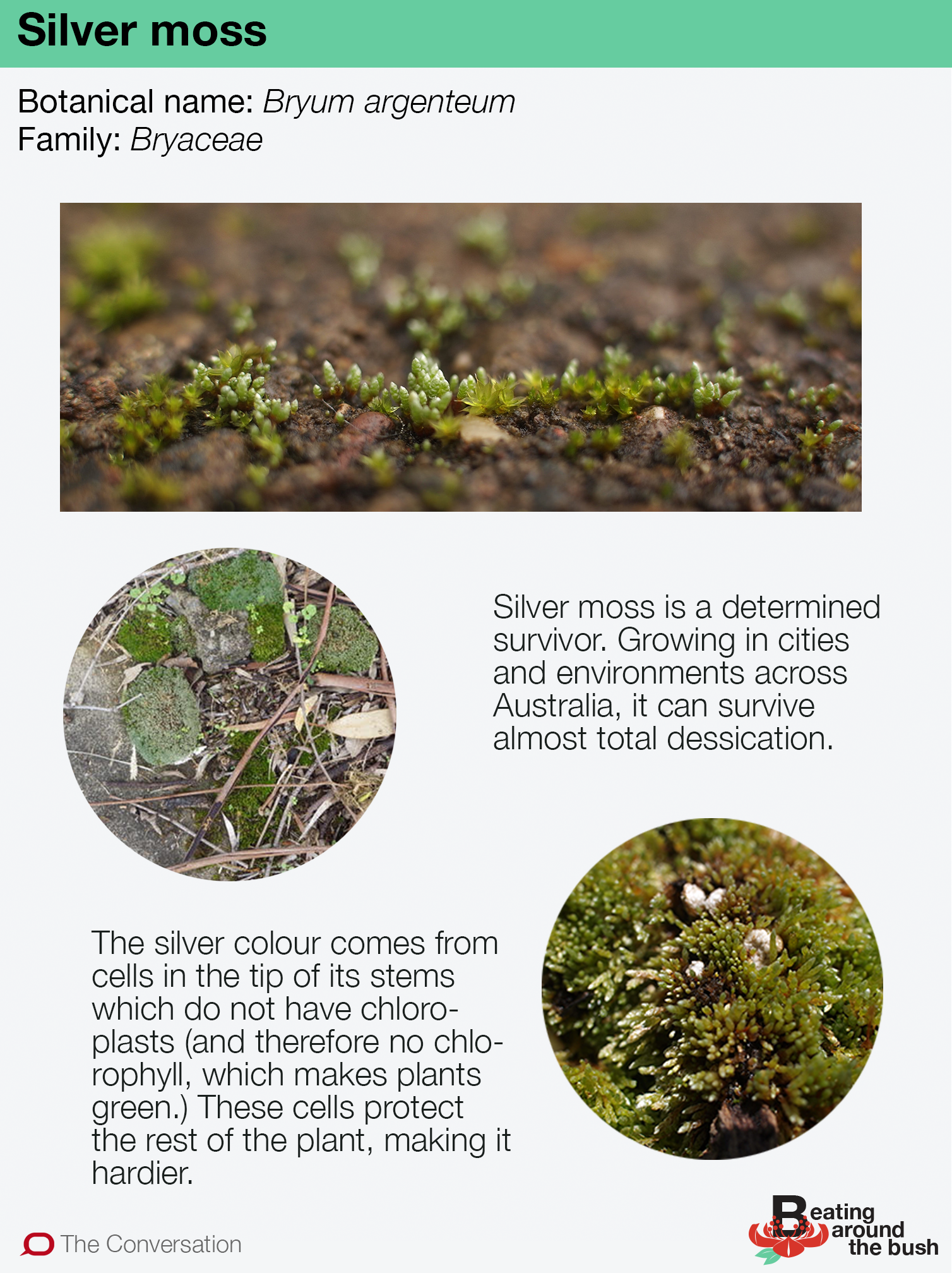 Silver moss is a rugged survivor in the city landscape
