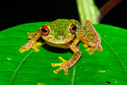 Deadly frog fungus has wiped out 90 species and threatens