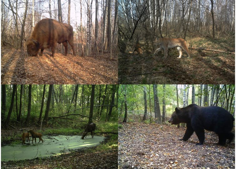 European bison (Bison bonasus), boreal lynx (Lynx lynx), moose (Alces alces) and brown bear (Ursus arctos) photographed inside Chernobyl Exclusion Zone (Ukraine). Proyecto TREE/Sergey Gaschack