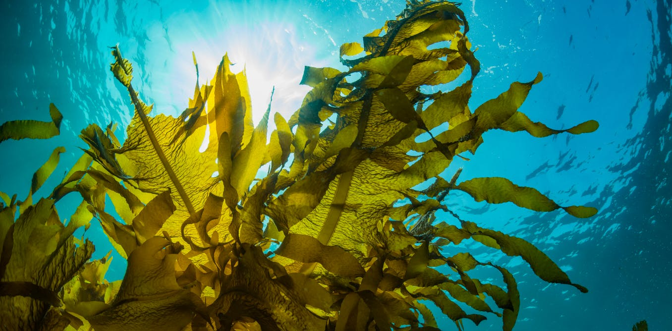Feeding farm animals seaweed could help fight antibiotic resistance and climate change