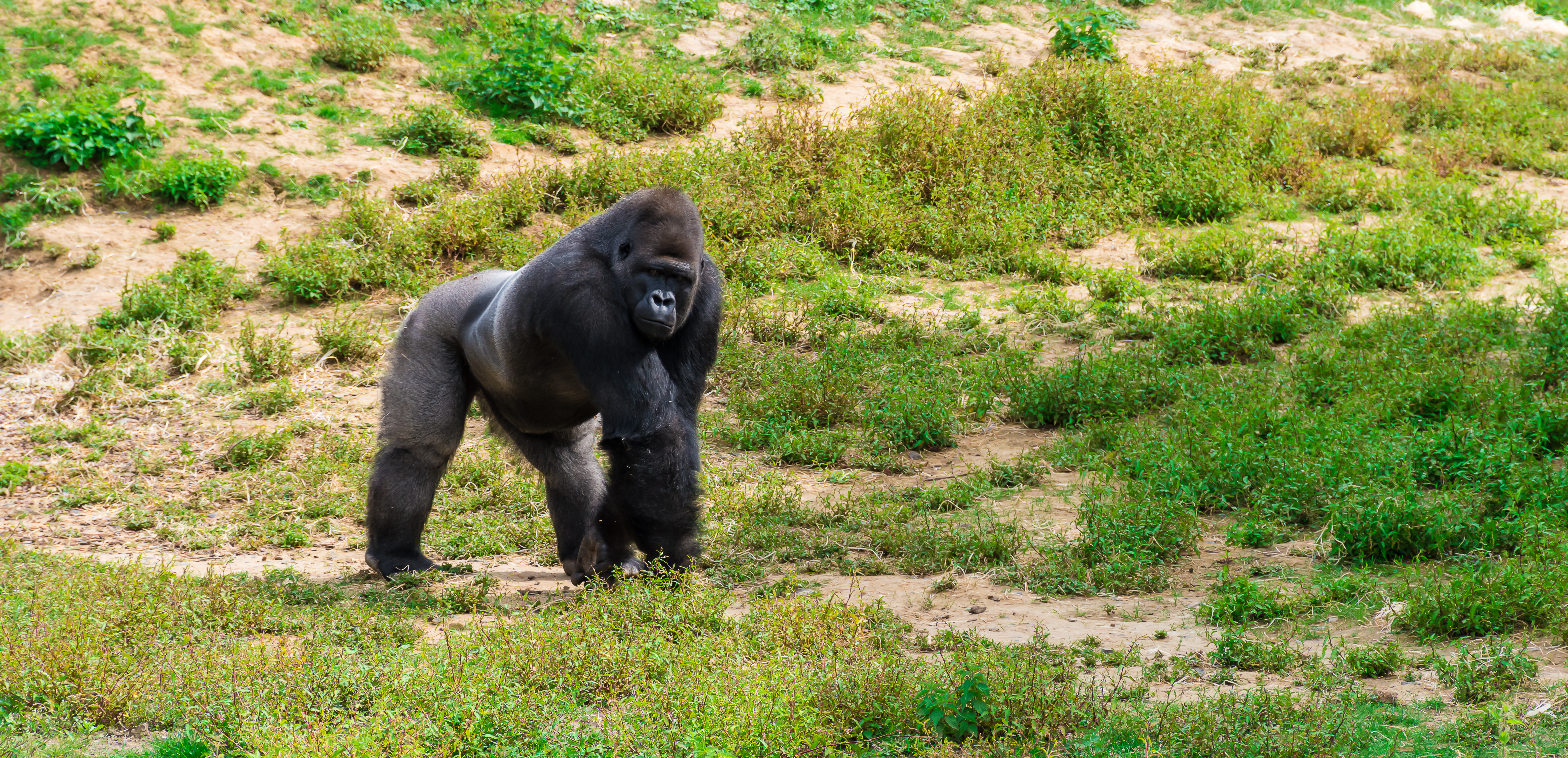 Rwanda's Gorillas Have Figured Out Where to Find Their Sodium Fix. but It's Dangerous