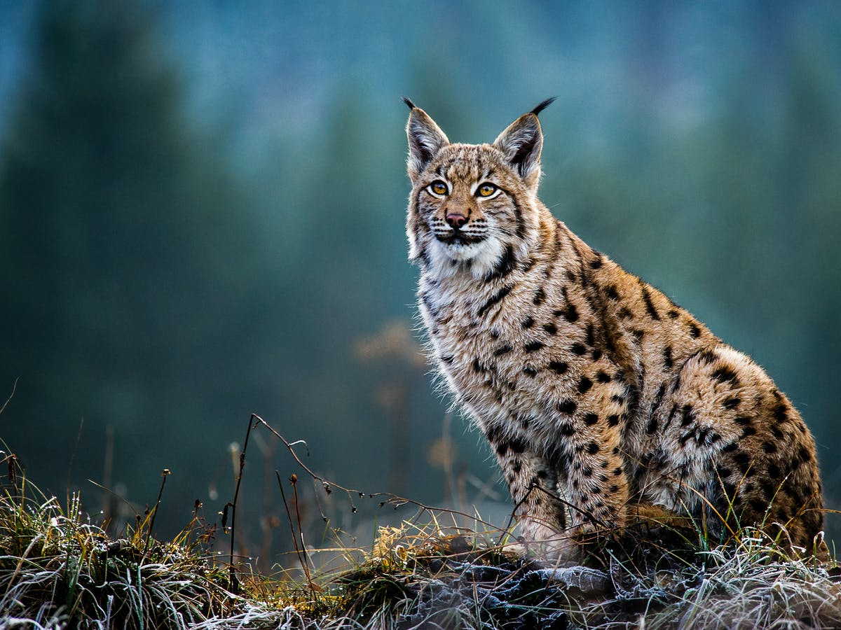 Eurasian Lynx How Our Computer Model Highlighted The Best Site For Restoring This Wild Cat To Scotland