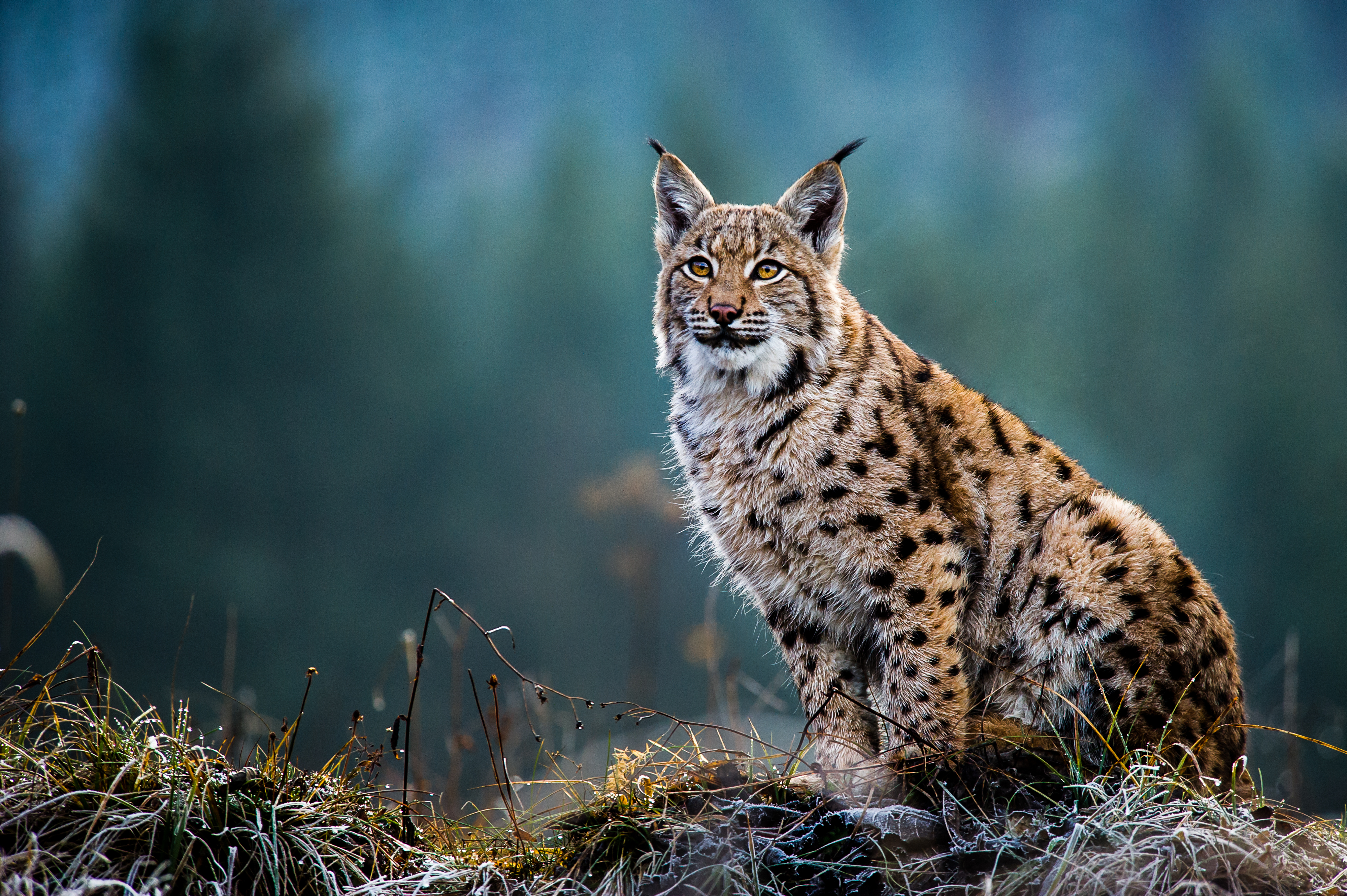 eurasian lynx  how our computer model highlighted the best