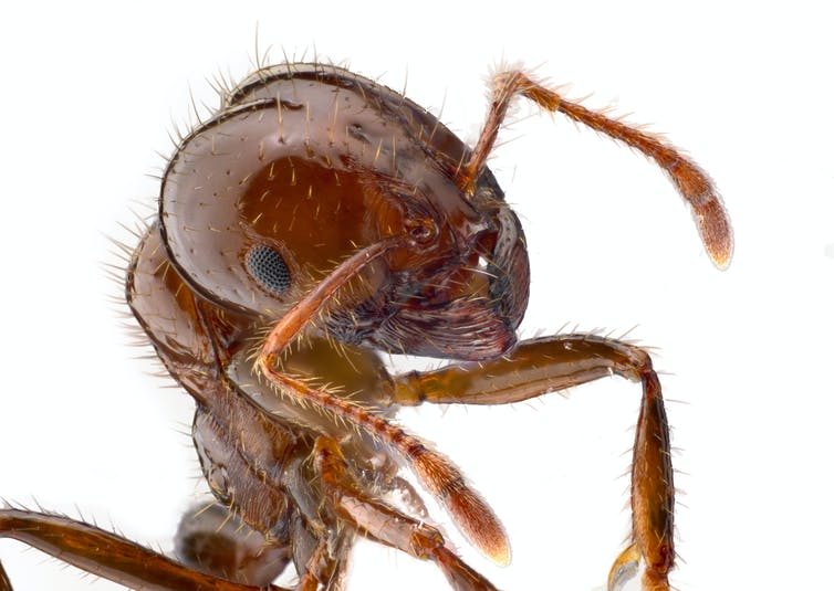 Invasive ants: federal budget takes aim but will it be a lethal shot?