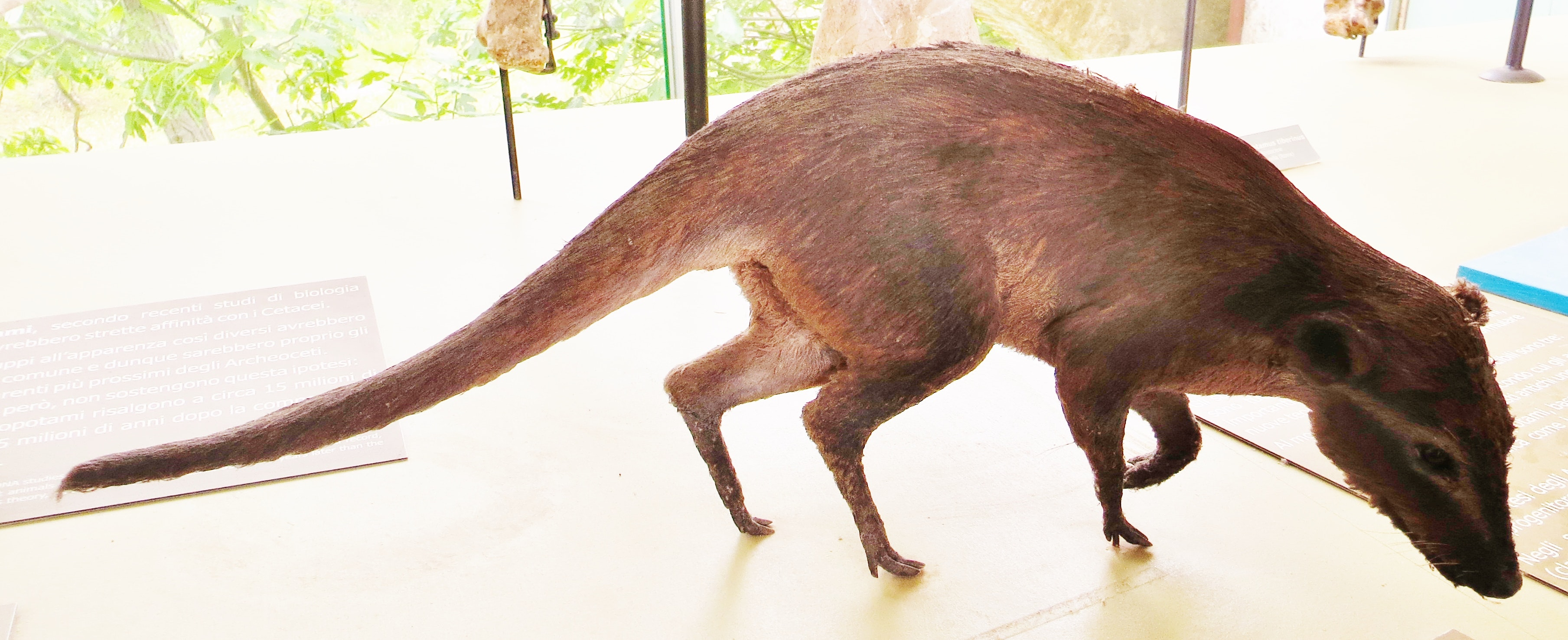 Indohyus, a furry ancestor of modern whales