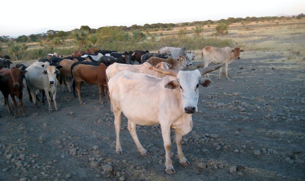 Ancient DNA is revealing the origins of livestock herding in