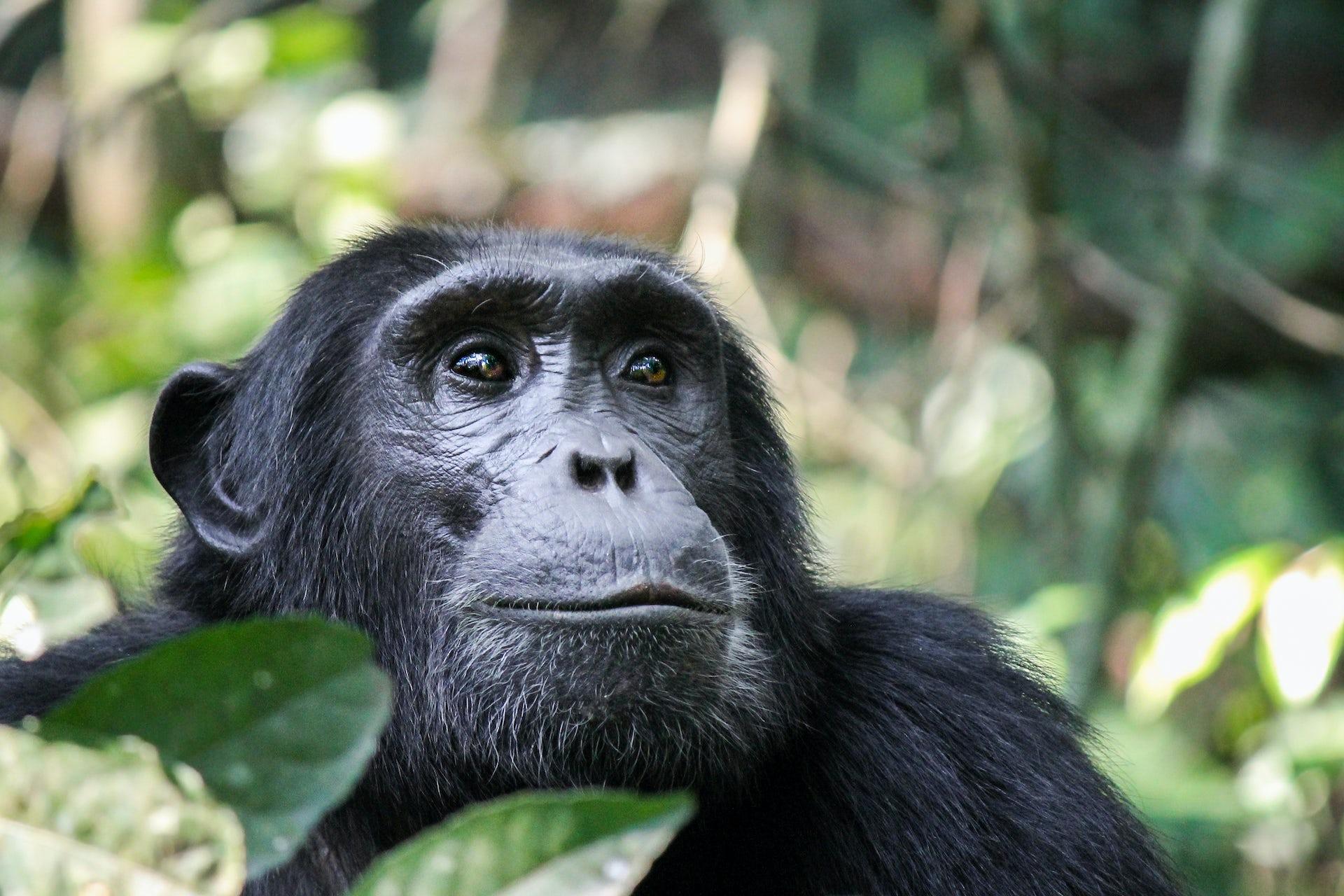 Human viruses threaten the future of Uganda's chimpanzees