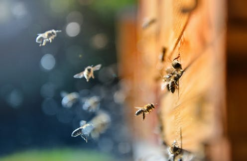 Urban bee keepers can help save wild bees