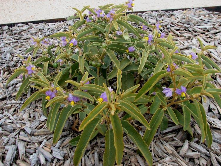 The tasty, weed-like desert raisin plant is as big as a carpark