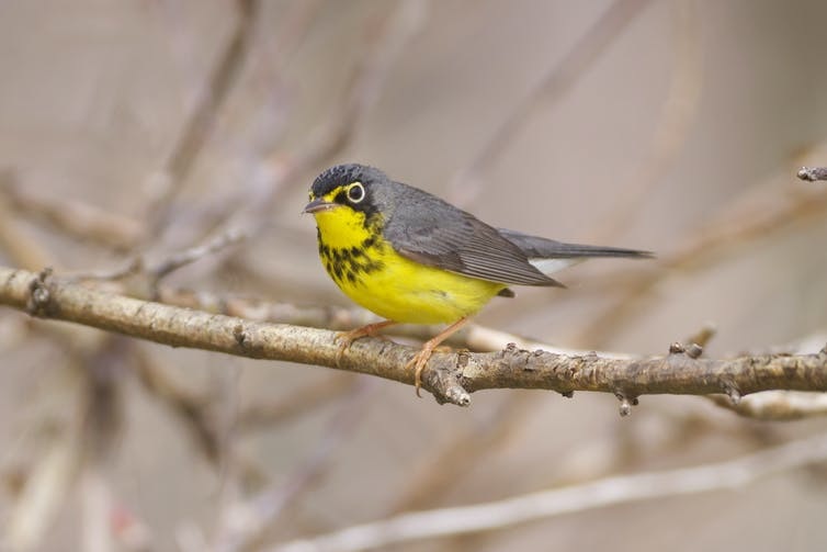 How birders helped pinpoint hotspots for migratory bird conservation