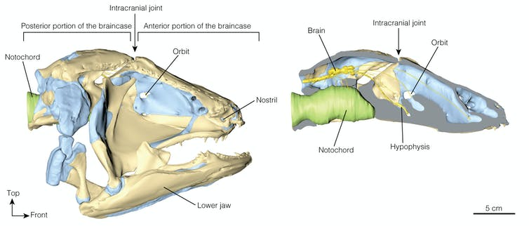 We scanned one of our closest cousins, the coelacanth, to learn how its brain grows