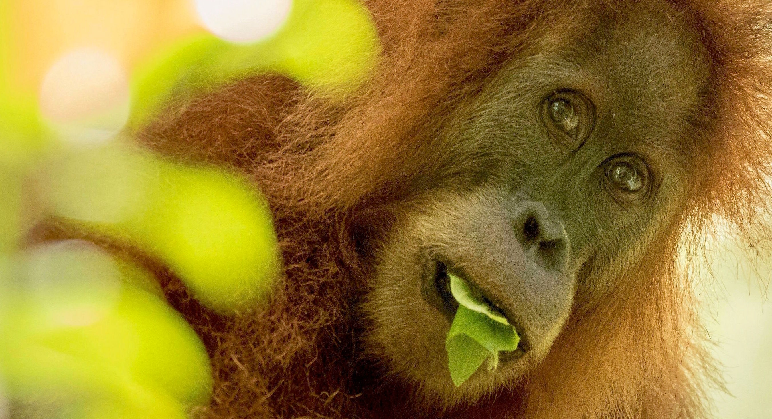 How Indonesia's election puts global biodiversity at stake with an impending war on palm oil