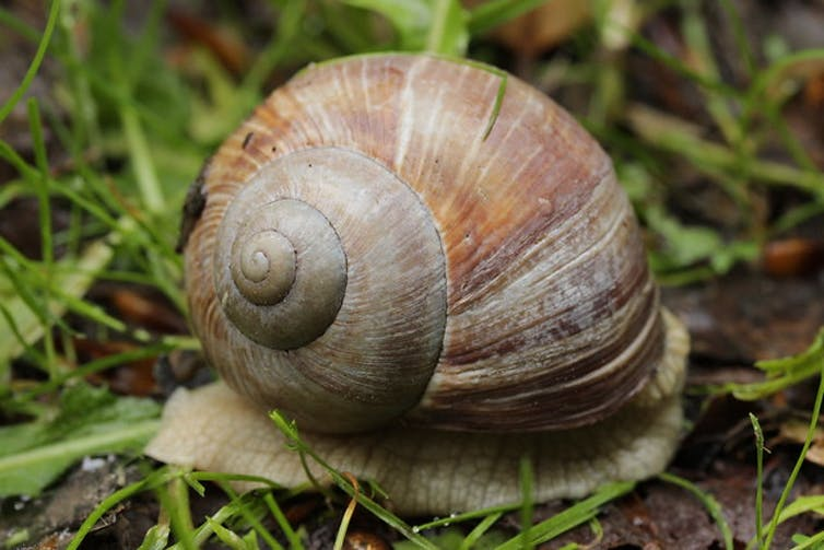 A close-up of the rings on the shell of a snail.