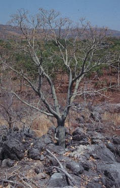 Bizarrely distributed and verging on extinction, this 'mystic' tree went unidentified for 17 years