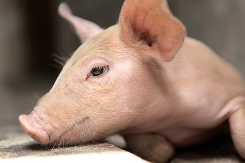 When is dead really dead? Study on pig brains reinforces