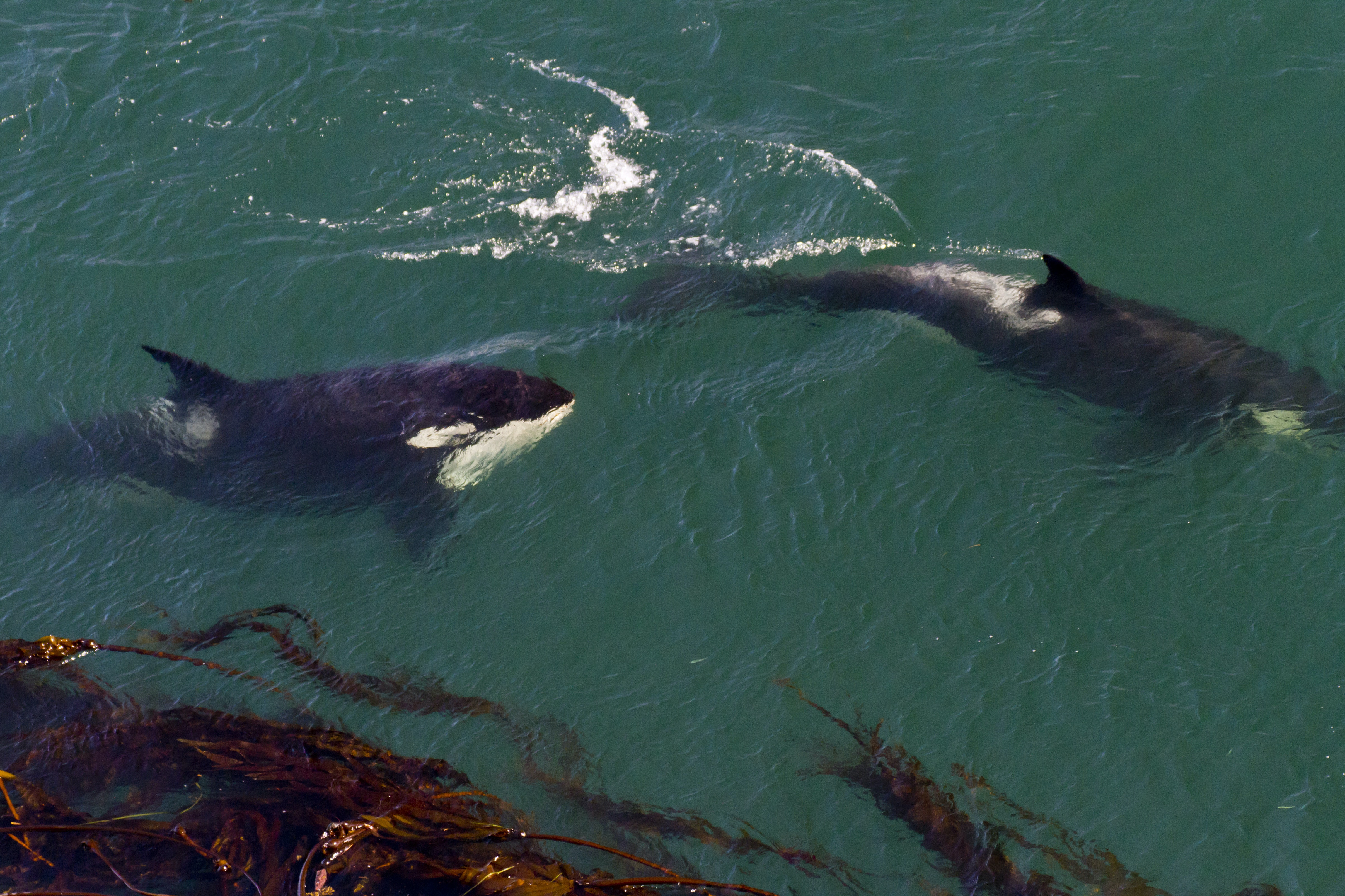 Why the southern resident killer whales should have the same rights as people