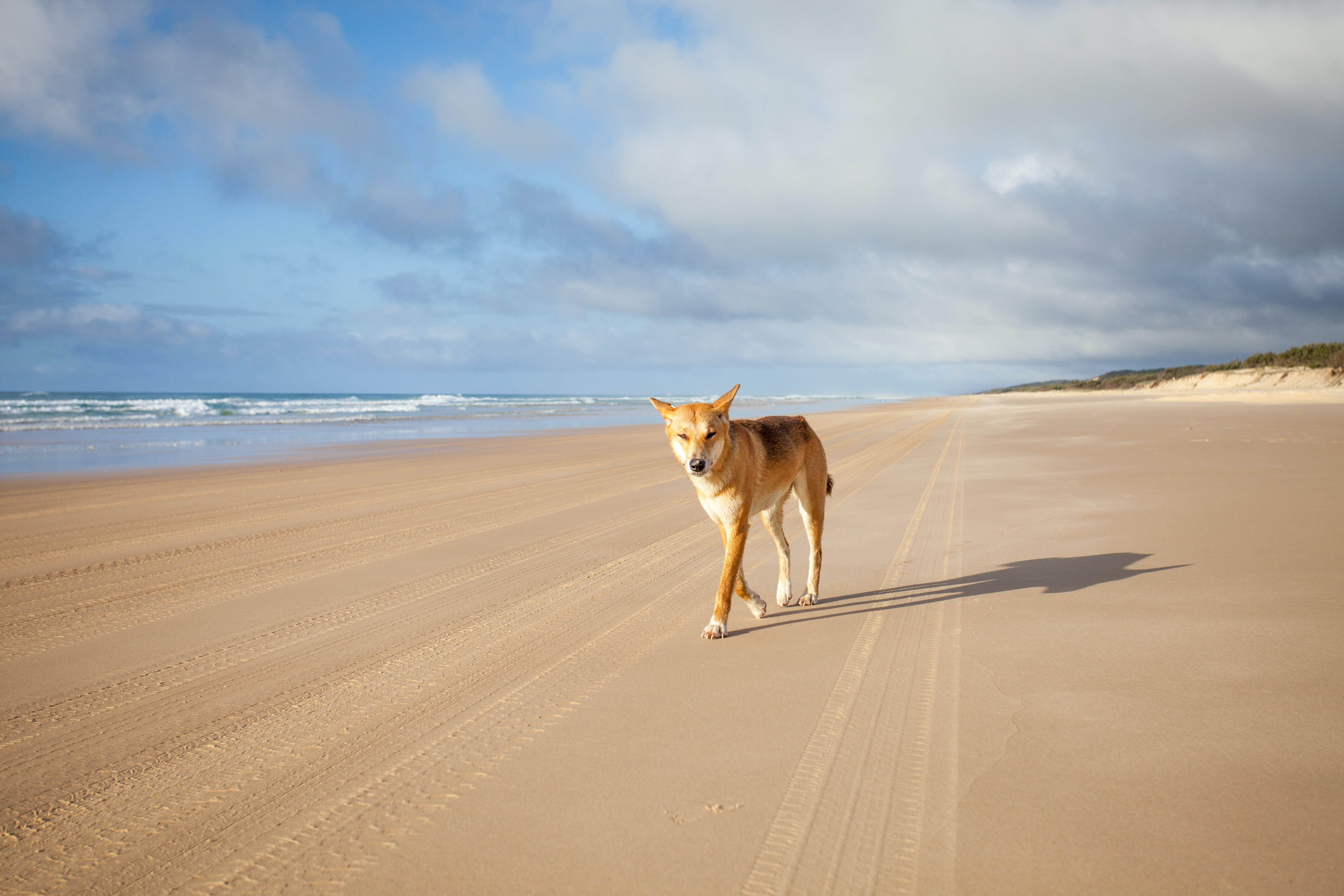 Dingoes and humans were once friends. Separating them could be why they attack