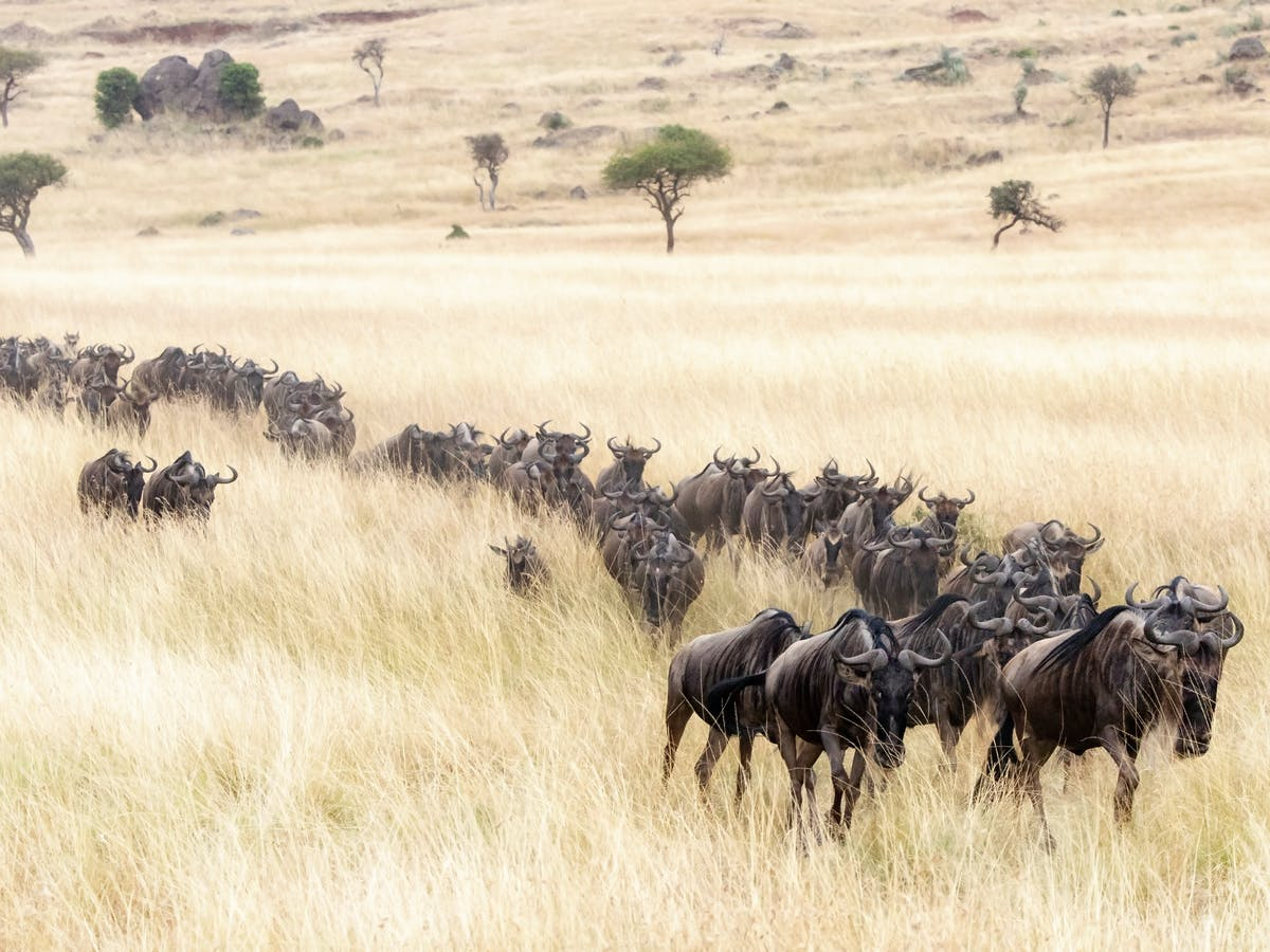Wildebeest migrations in East Africa face extinction. What must be done